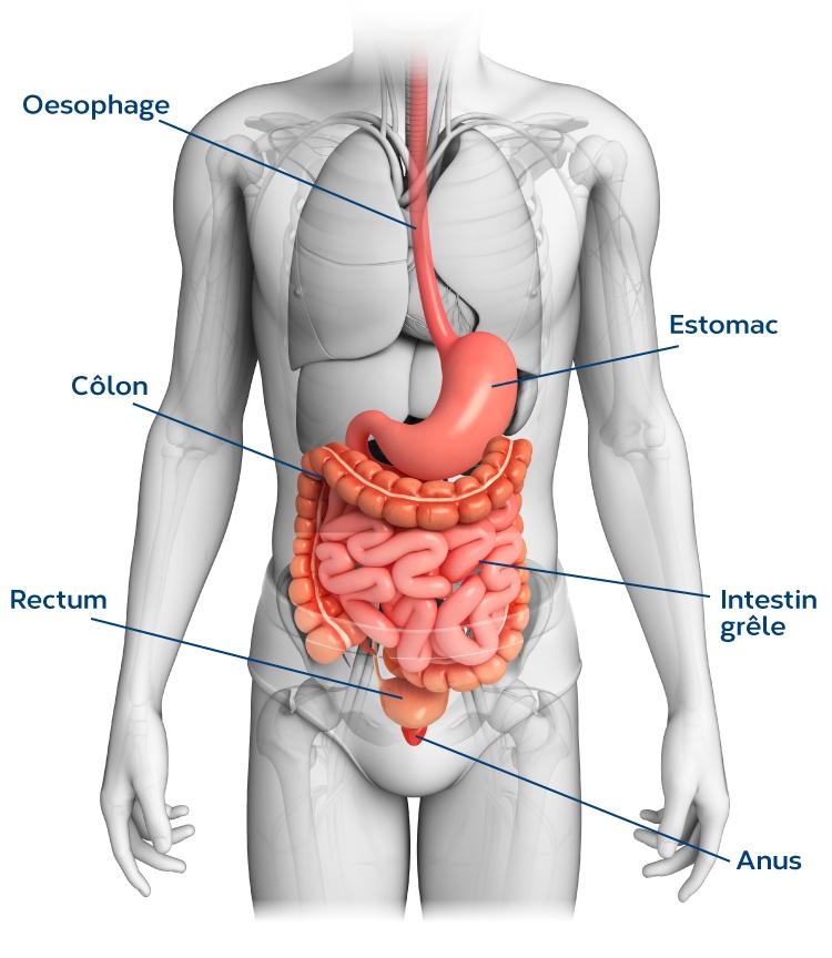 schema-systeme-digestif-FR